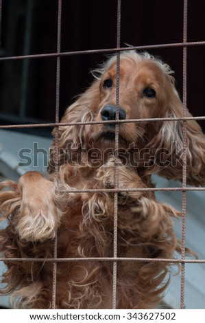 Cocker Spaniel in a cage, looking ahead