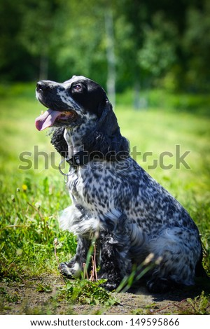 Cocker Spaniel in nature - stock photo