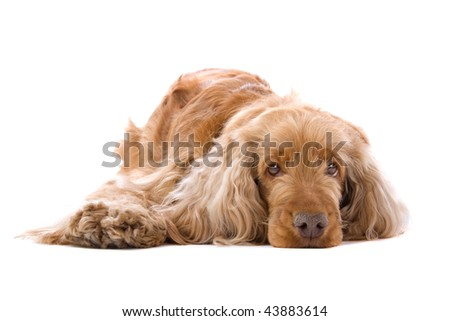 Cocker Spaniel isolated against a white background.