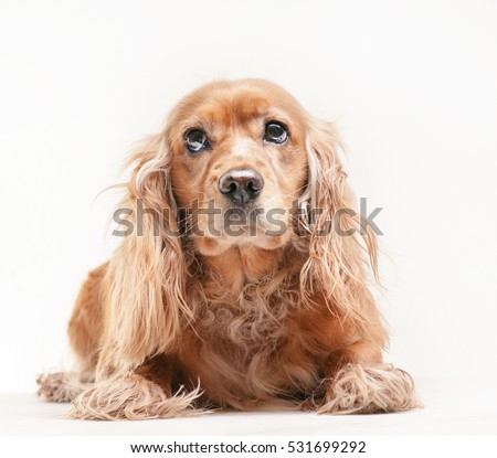 Cocker spaniel on the white background