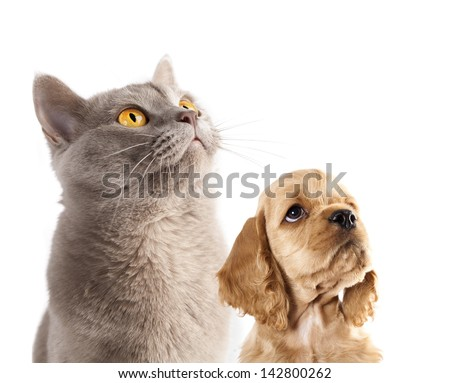 Cocker Spaniel puppy and  British cat - stock photo