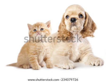 Cocker Spaniel puppy and  kitten
