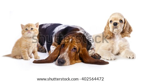 Cocker Spaniel puppy and  kitten - stock photo