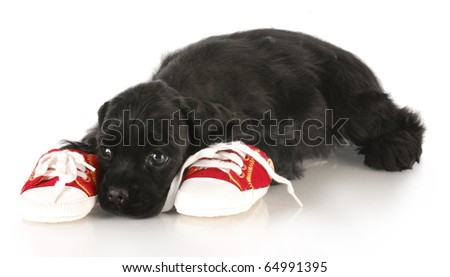 cocker spaniel puppy laying beside pair of shoes - dog chewing on chews - stock photo