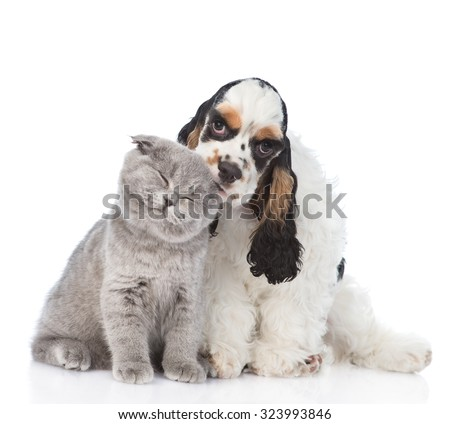 Cocker Spaniel puppy licking young kitten. isolated on white background - stock photo