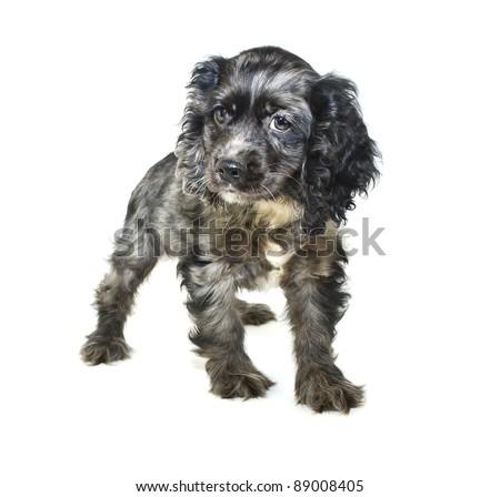 Cocker Spaniel puppy on a white background. - stock photo