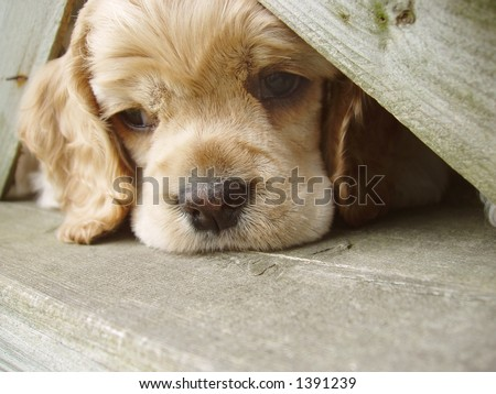 cocker spaniel puppy peeking through fence (6 weeks old champion stock)