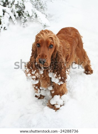 Cocker Spaniel Puppy playing in the Snow - stock photo