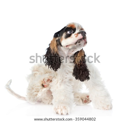 Cocker Spaniel puppy scratching. isolated on white background - stock photo