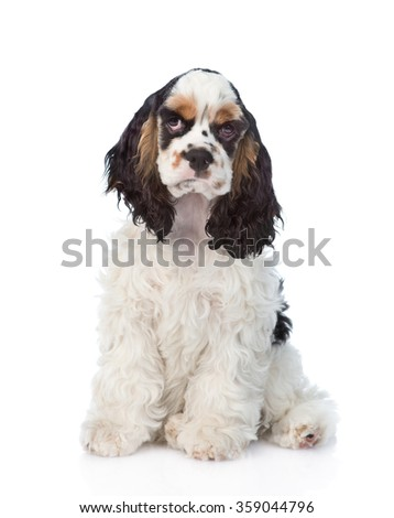 Cocker Spaniel puppy sitting in front view. isolated on white background - stock photo