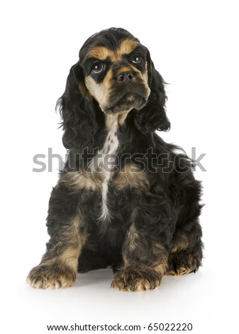 cocker spaniel puppy sitting with reflection on white background - stock photo