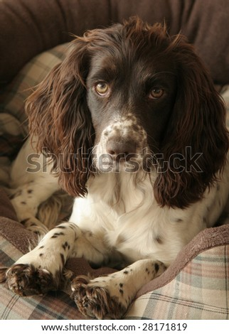 Cocker Spaniel rests in the comfy basket - stock photo