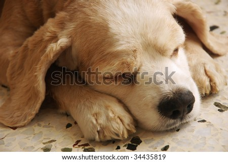 cocker spaniel sleeping - stock photo