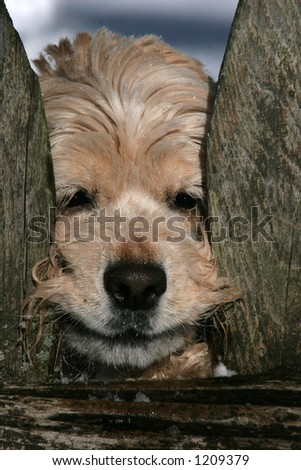 cocker spaniel with face and paw between fence - stock photo