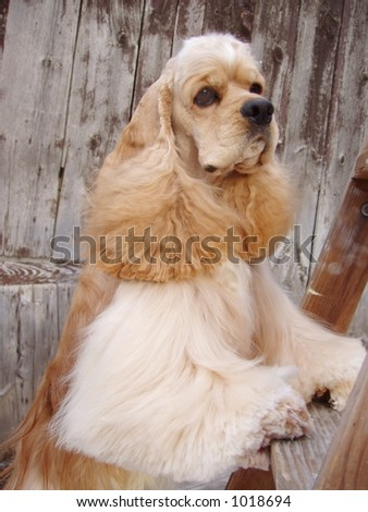 cocker spaniel with feet on ladder (champion show dog)