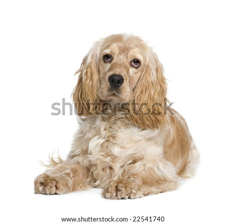 Cocker Spaniel (1 year) in front of a white background - stock photo