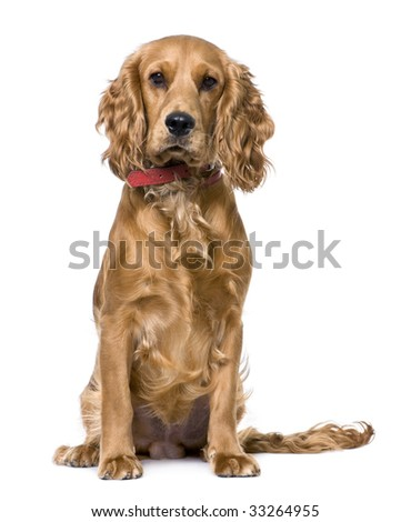 Cocker Spaniel (1 years old), sitting  in front of a white background - stock photo