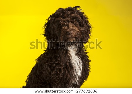 Cockerpoo dog (Spaniel cross poodle) on yellow background - stock photo