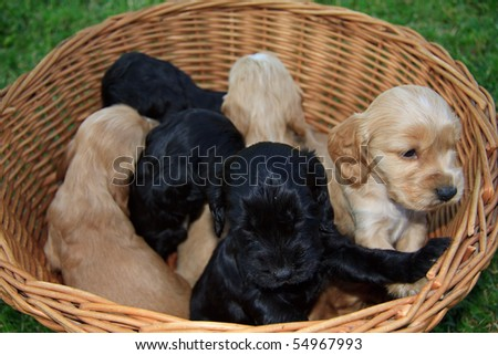 Cockers spaniel puppy in a wicker basket - stock photo