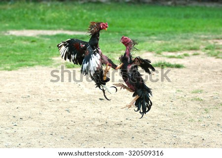Cockfight in Thailand,Popular sport and tradition. - stock photo