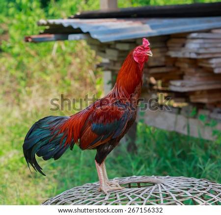Cockfight,Thailand - stock photo