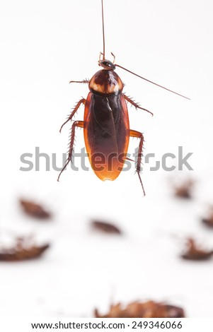 cockroach hanging is dead shoot on white background - stock photo