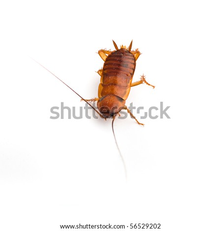 cockroach isolated - stock photo