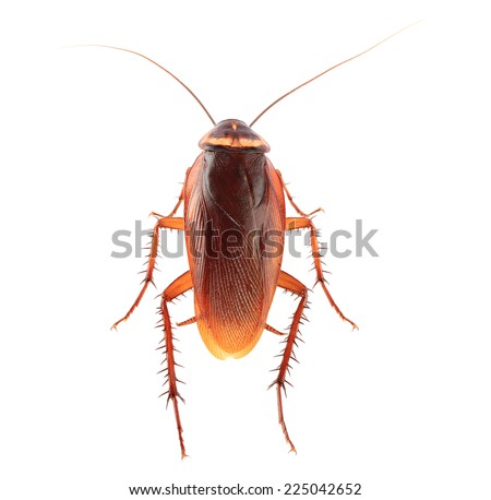 Cockroach isolated on a white background. This has clipping path.  - stock photo