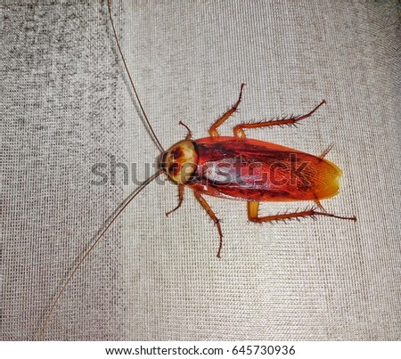 Cockroach on curtain