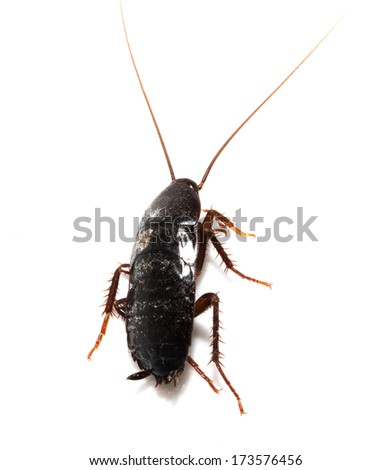 cockroach on white background. macro - stock photo