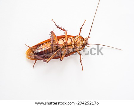 Cockroach supine on a white background.It is not yet dead, but it can not be shifted.
