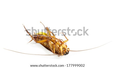 cockroach turn face up on white background (isolated) and blank area at upper side