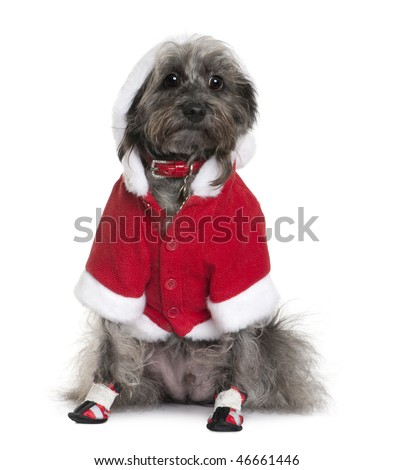 Cocktail D'amour dog in Santa Claus suit, 4 years old, sitting in front of white background - stock photo