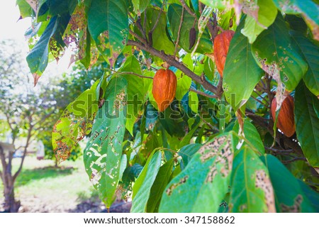 Cocoa beans growing on a farm in Hawaii - stock photo
