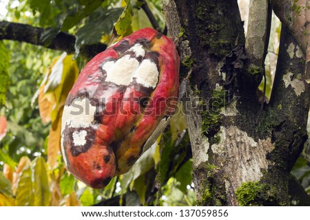 Cocoa pod infected with Frosty Pod Disease caused by the basidiomycete fungus  Moniliophthora roreri, Ecuador - stock photo
