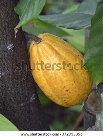 Cocoa Tree Fruit - Theobroma cacaoCacao Pod - stock photo