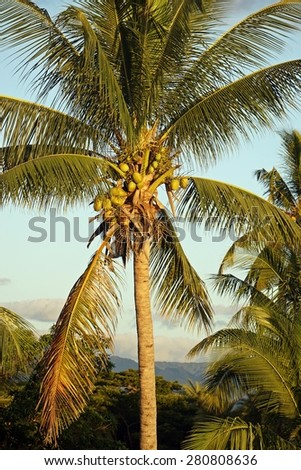 Coconut and Palm Tree, tropical island - stock photo