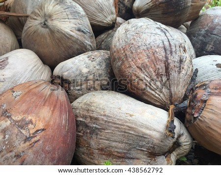 Coconut cluster on Coconut tree. - stock photo
