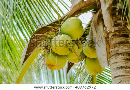Coconut cluster on Coconut tree.Closer coconut tree on the sea sky bright atmosphere  Coconut cluster on coconut tree - stock photo