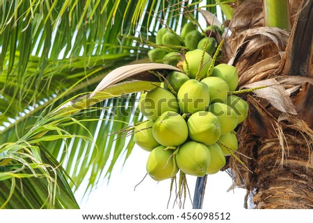 coconut cluster on coconut  tree. or coconut palm tree. thailand fresh fruit.  - stock photo