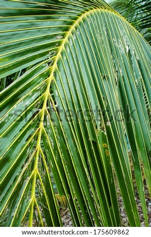 Coconut Leave Green Line Composition, Closeup  - stock photo