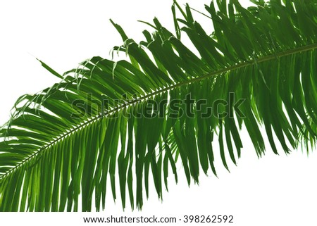 coconut leaves on white background - background texture and abstract