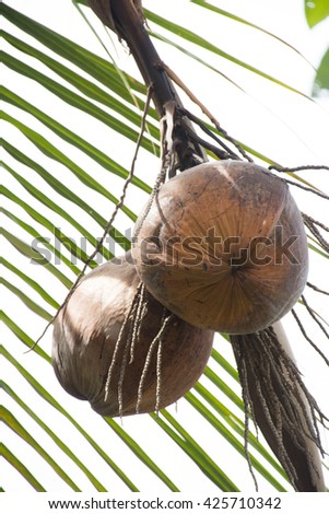 Coconut on a coconut tree. Fresh coconut and closeup on tree.Juice in summer.  - stock photo