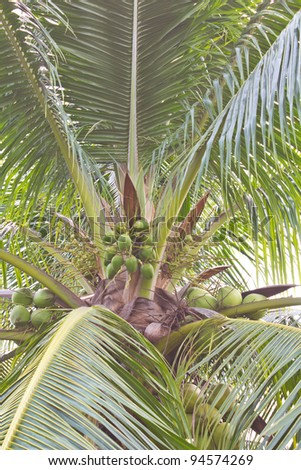 Coconut on the tree. Coconut on the coconut trees with small and big.
