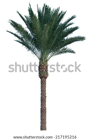 Coconut palm tree isolated on white background.  - stock photo