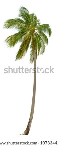 Coconut palm tree isolated on white background.  XXL size. - stock photo