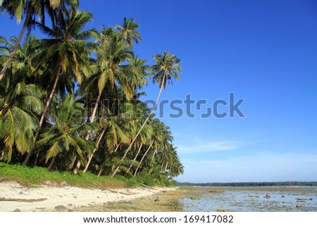 Coconut palm tree plantation on the Pantai Sorak beach in Nias, Indonesia