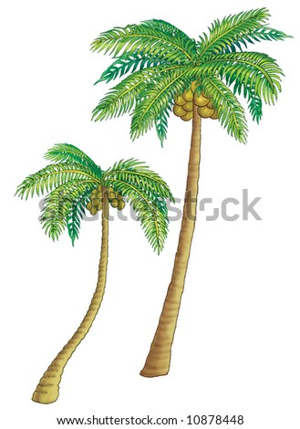 Coconut palm trees, high with green leaves. Fruits hang.