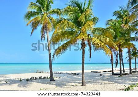 Coconut palm trees (Isla Mujeres, Mexico) - stock photo