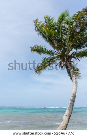 coconut palm with caribbean sea